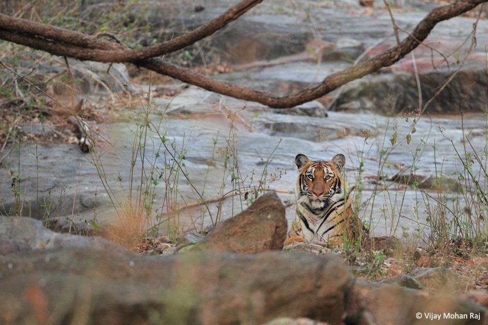 02 Tiger near rock cc resize_1