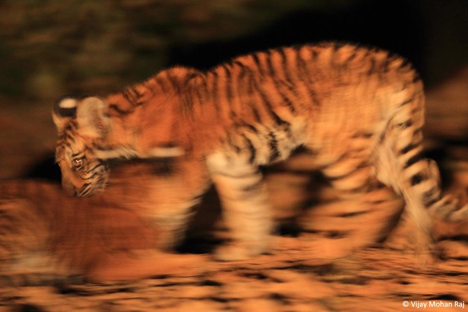 05 Panning tiger cubs cc resize_1