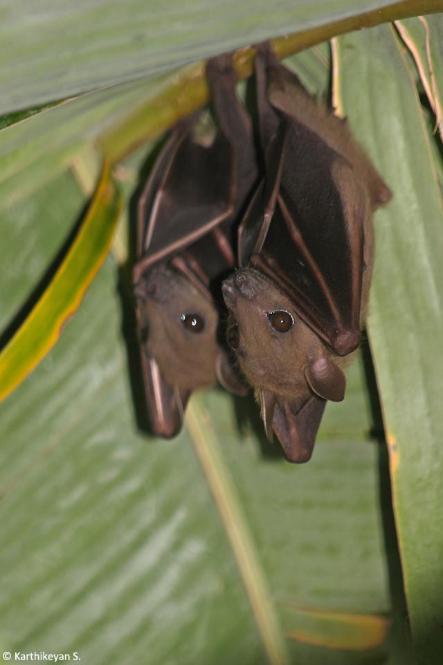1 Shortnosed Fruit Bat 5