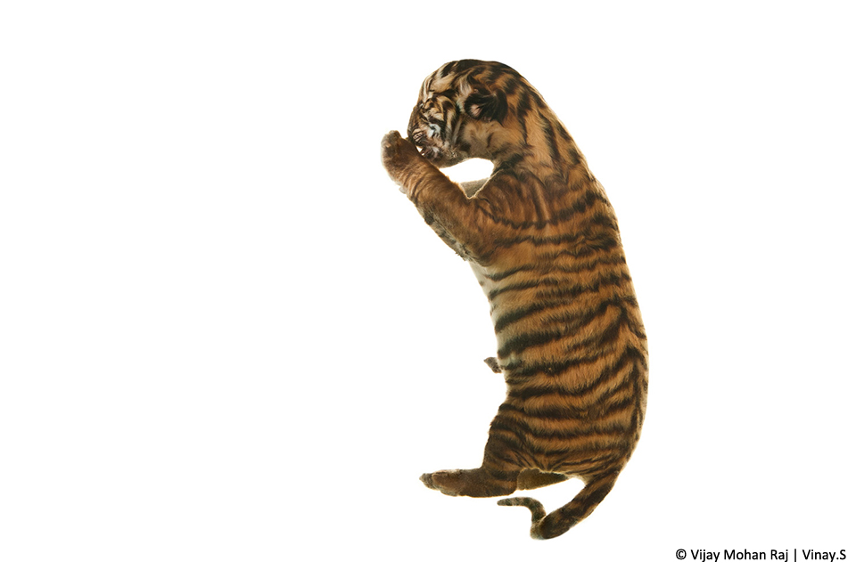 10_2 Tiger foetus_1