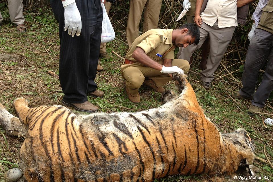 12 Tiger natural death resize_1