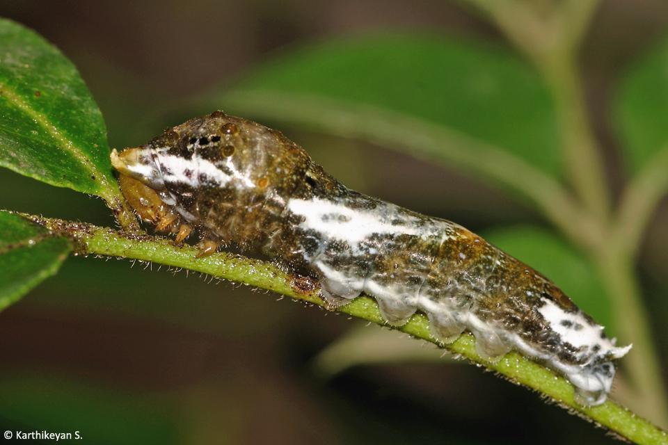 1_larva-mormon-or-lime