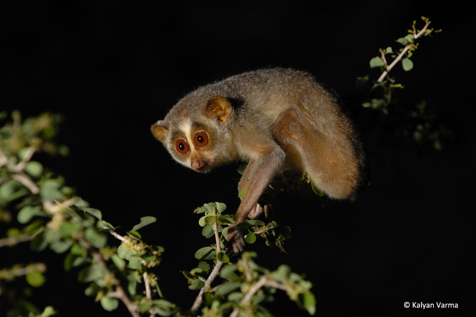 Urban Slender Lorises of Bangalore | JLR Explore