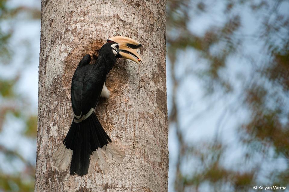 2_Male Oriental Pied Hornbill_Pakke_KalyanVarma_960x640