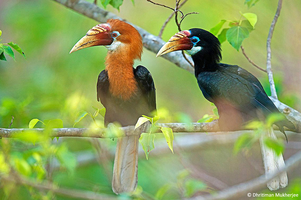 7_Narcondam-Hornbill Image by Dhritiman Mukherjee