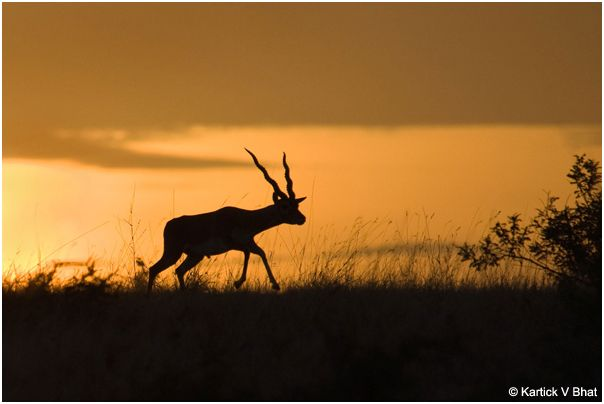 A_male_Blackbuck_at_sunset