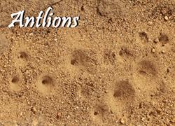 Antlions 300x220