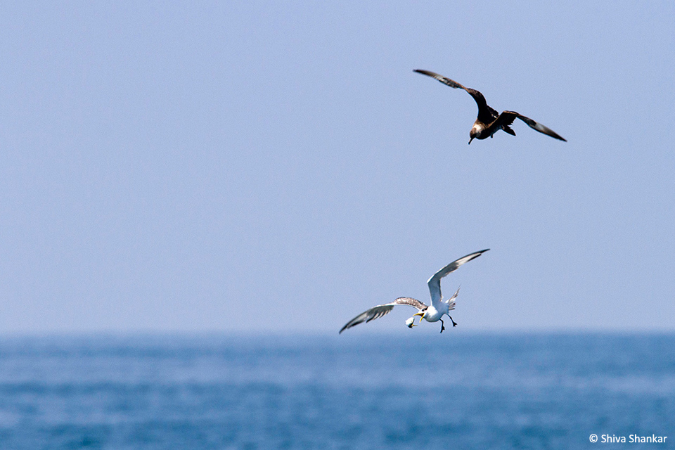 Arctic Skua chasing Greater Crested Tern(7)