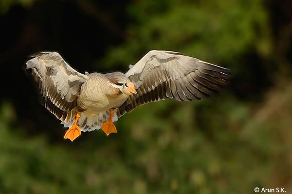 Bar-headed-Geese-magadi-landing