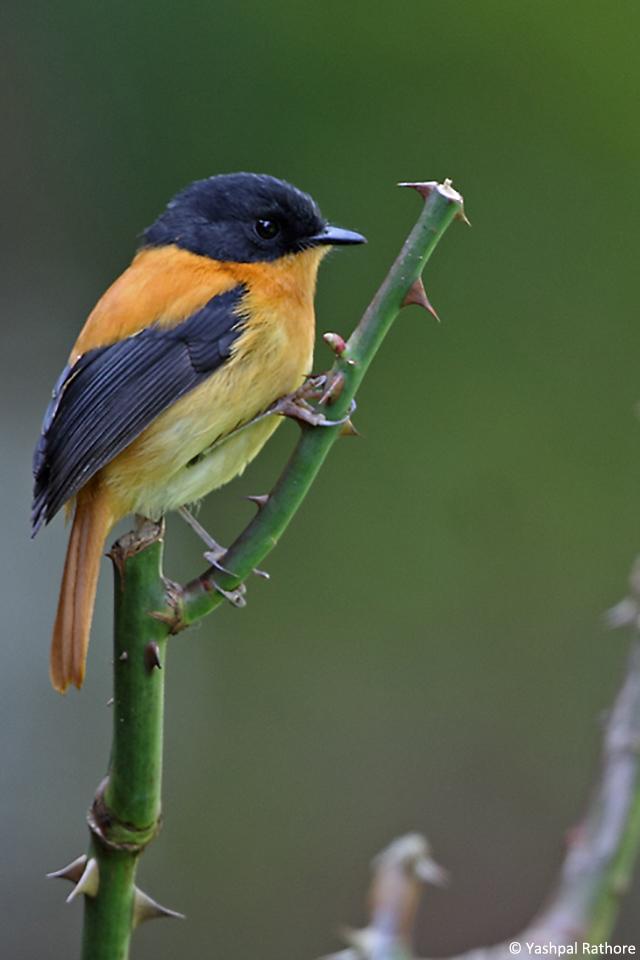 Black and orange Flycatcher (2)