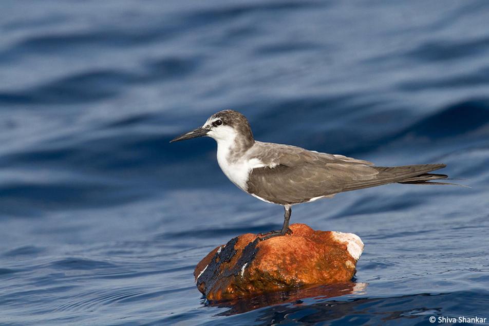 Bridled Tern(3)