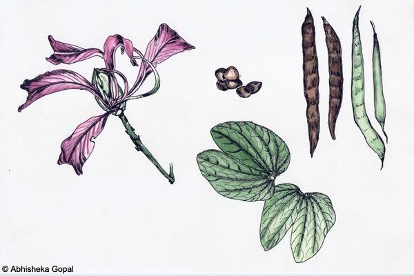 Camel-s-Foot-Tree-Bauhinia-purpurea-Bauhinia-variegata