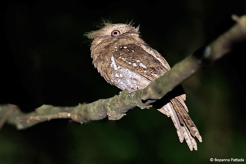 Ceylon-Frogmouth---Bopanna-Pattada---Coorg