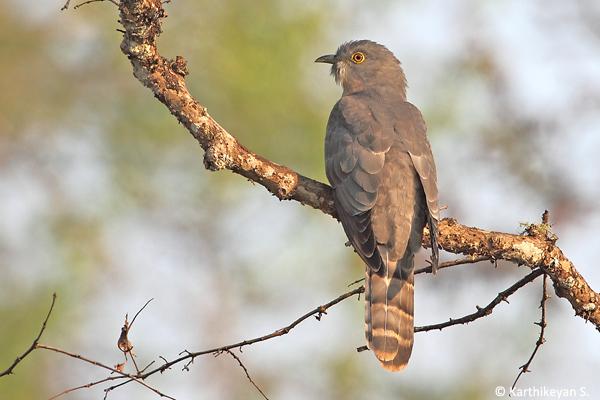 Common-Hawk-Cuckoo