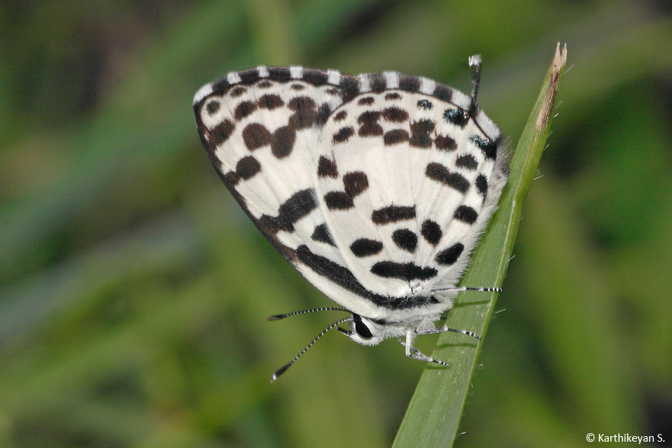 Common Pierrot-b