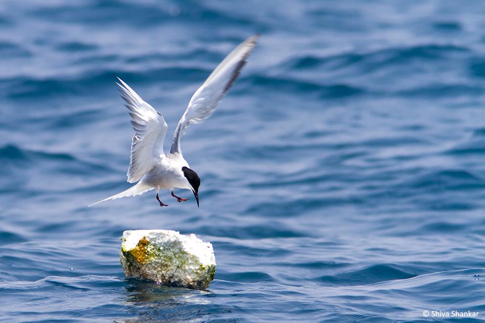 Common Tern(7)