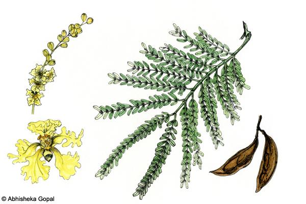 Copper-Pod-Rusty-Shield-Bearer-Peltophorum-pterocarpum
