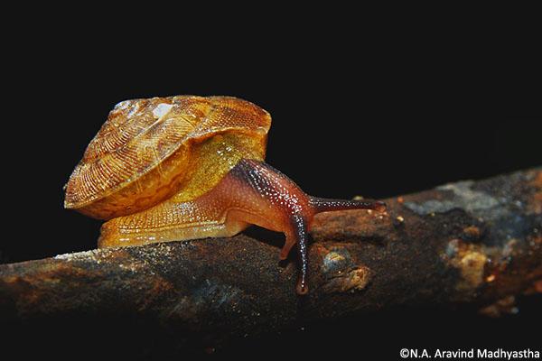 Euplecta indica