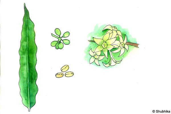 False-Ashoka-Polyalthia-longifolia