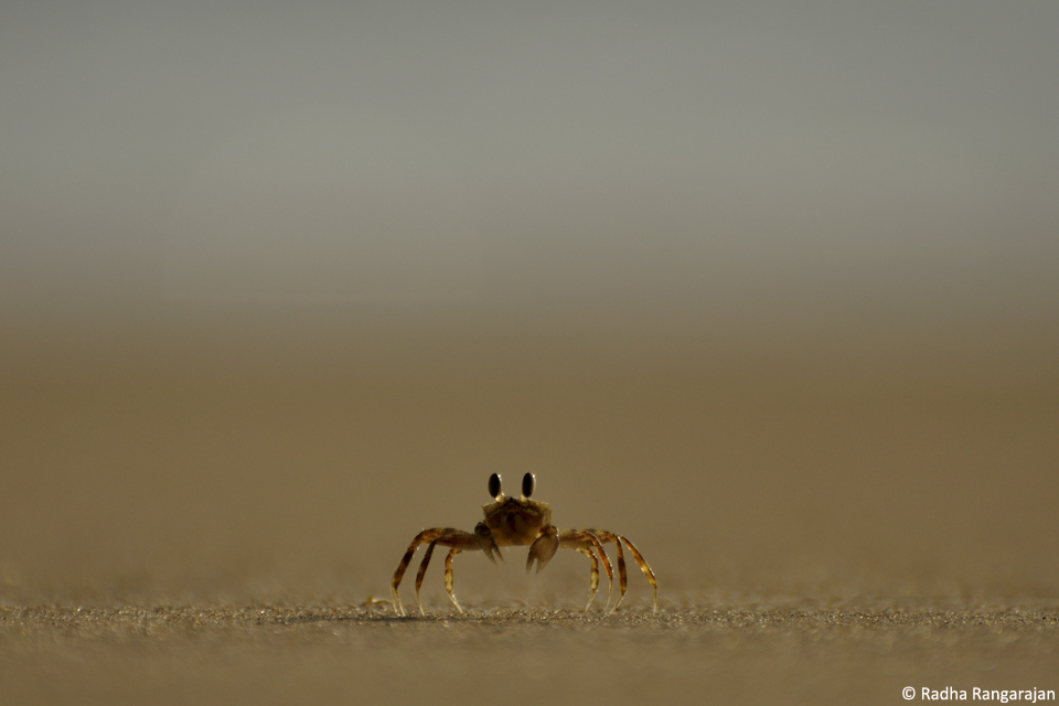 Ghost Crab_960(1)