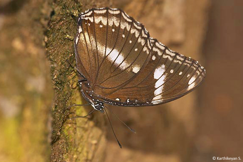 Great Eggfly-b