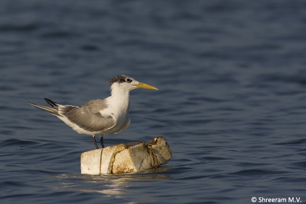 Greater_Crested_Tern_byndoor