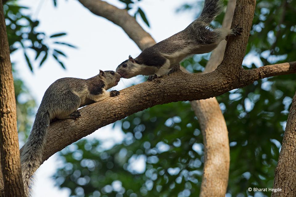 Grizzled-Squirrel-Pair