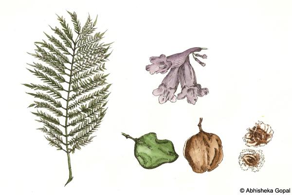 Jacaranda-Jacaranda-mimosifolia