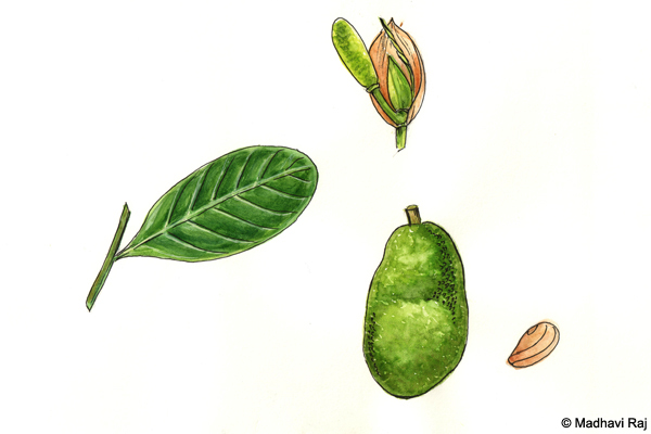 Jackfruit-Artocarpus-heterophyllus