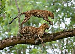 Leopard_Giri_Cover_300x220