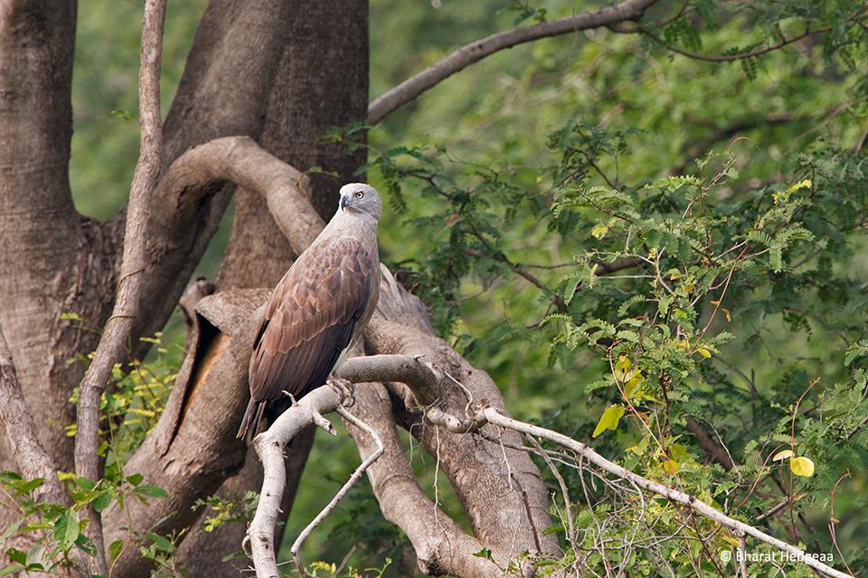 Lesser-Fish-Eagle