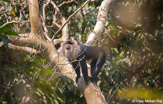 Lion-tailed_Macaque