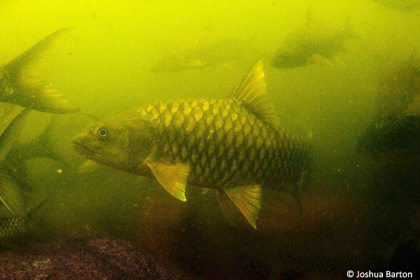 Mahseer-underwater