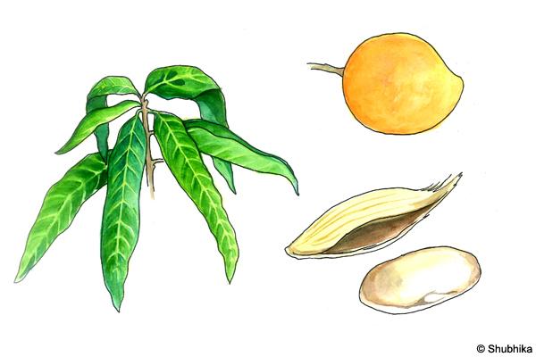 Mango-tree-Mangifera-indica
