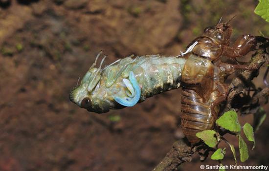 Molting-Cicada-2