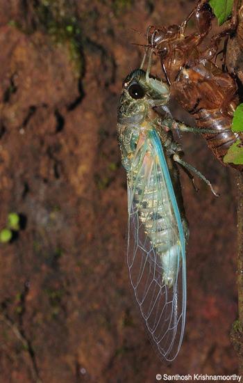 Molting-Cicada-3