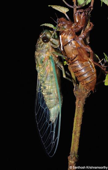 Molting-Cicada-4