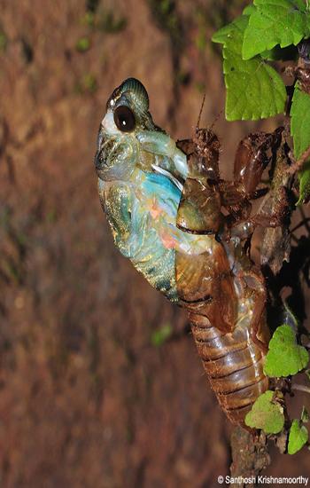 Molting-Cicada