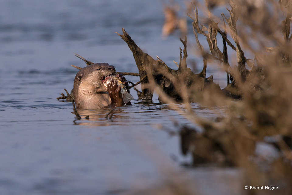 Otter-Eating-Fish