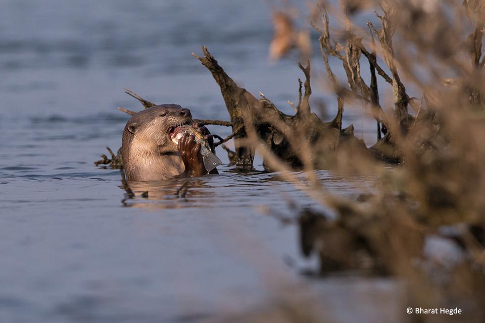 Otter-Eating-Fish