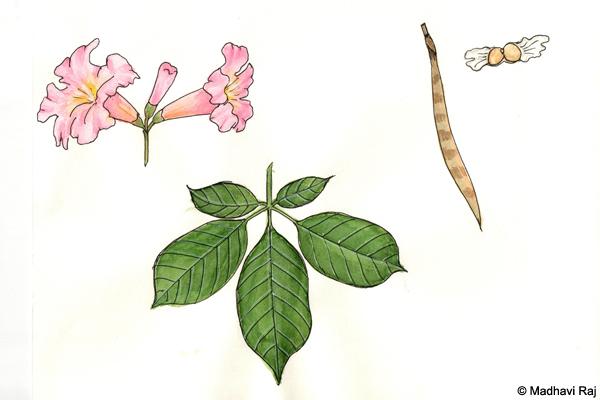 Pink-Trumpet-Tree-Tabebuia-impetiginosa