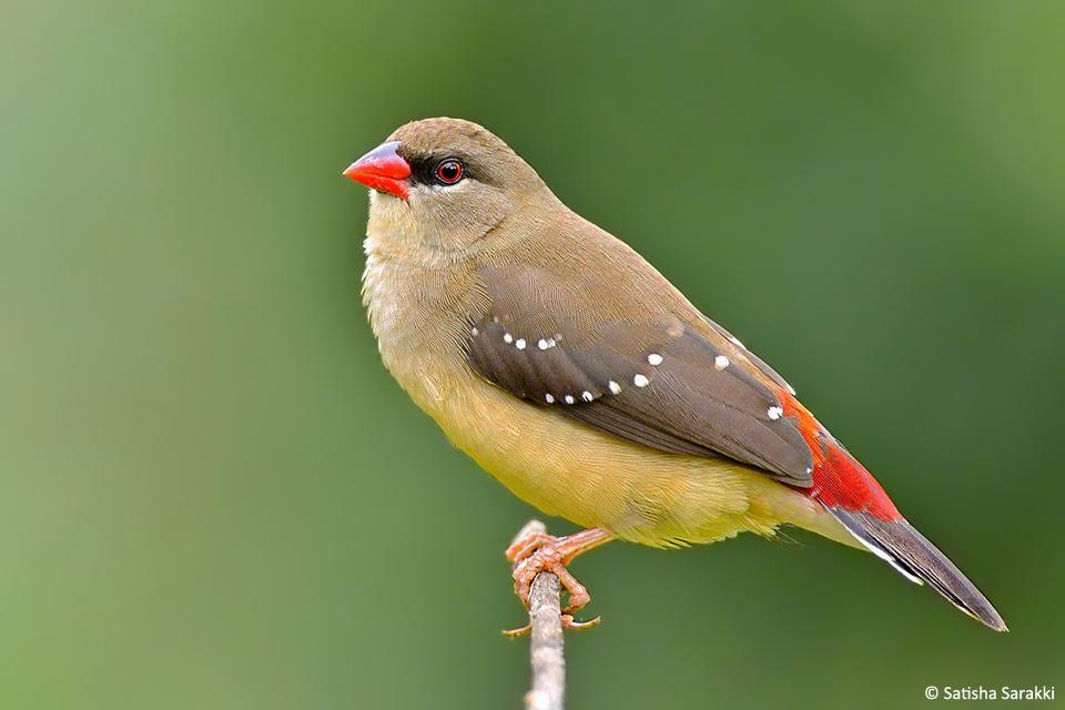 Red Avadavat Female