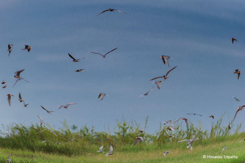 River Tern congregation on one of the islands