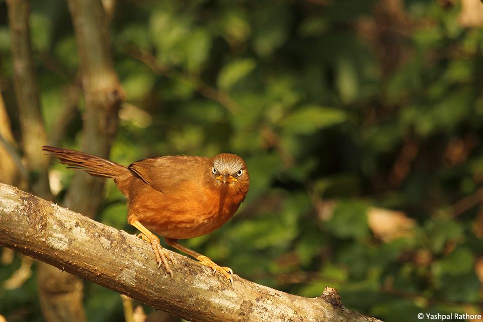 Rufous Babbler(1)