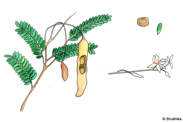 Tamarind-Tree-Tamarindus-indica