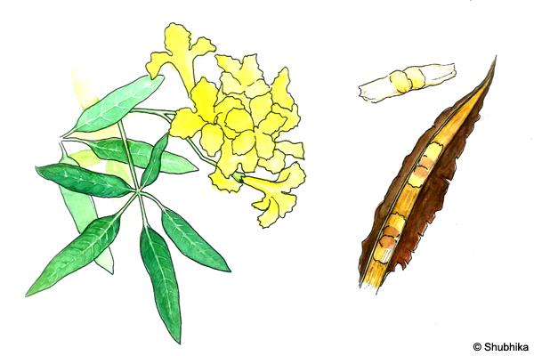 Tree-of-Gold-Tabebuia-argentea