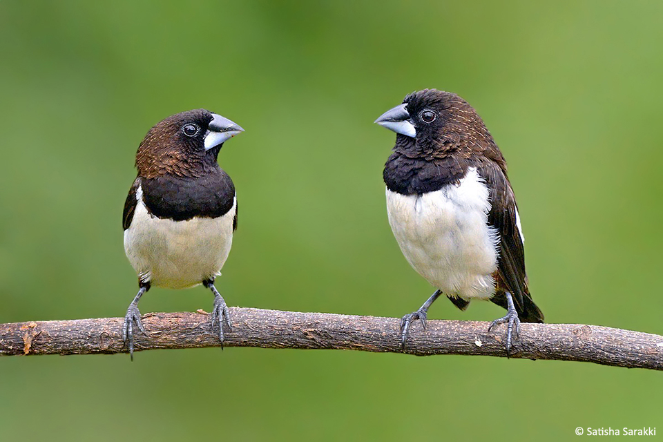 White Rumped Munia 2