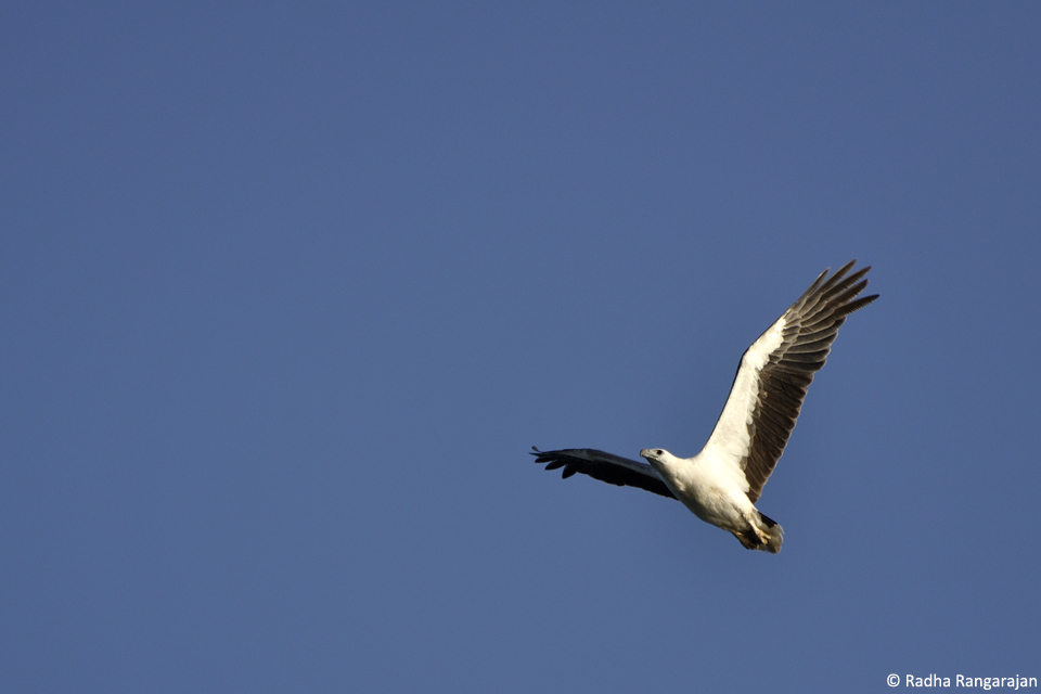White-bellied Sea Eagle_960(2)