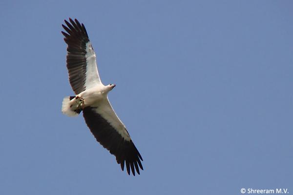 White-bellied-Sea-Eagle_byndoor