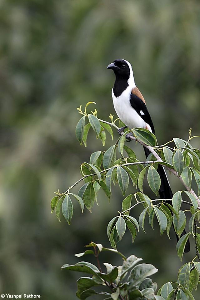 Whitebellied Treepie (2)